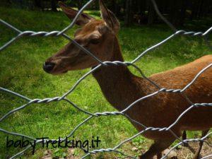 Il recinto dei cervi a Paneveggio, dove i bambini fanno ooooh!